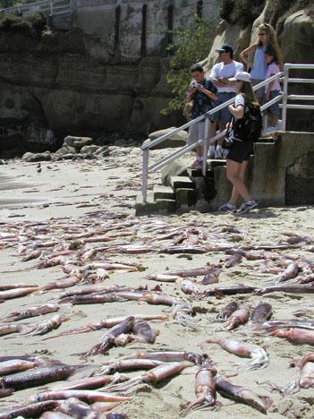 Squid at LJ Cove 2002
