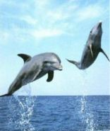 Dolphins jumping