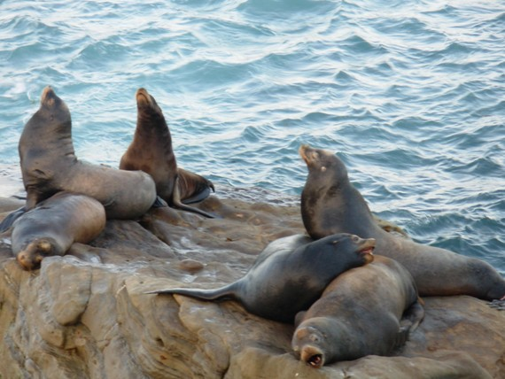 Barking, stretching, snoring sea lions