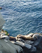 Sea Lions - California coast