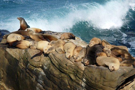 Sea lions, La Jolla