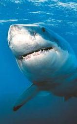 White shark frontal view