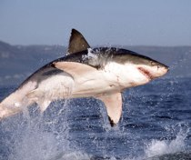 Great white, coloration