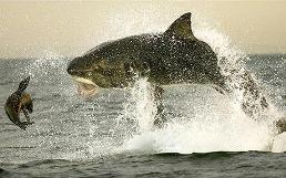 Shark hunts seal