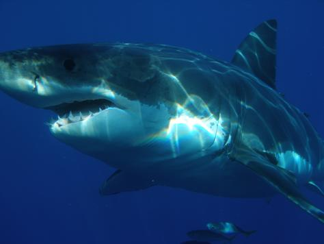 White Shark, Isla Guadalupe