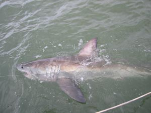 Juvenile white shark