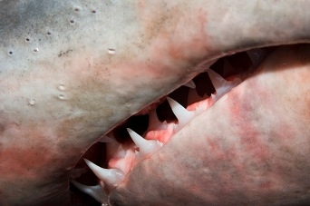Porbeagle shark teeth